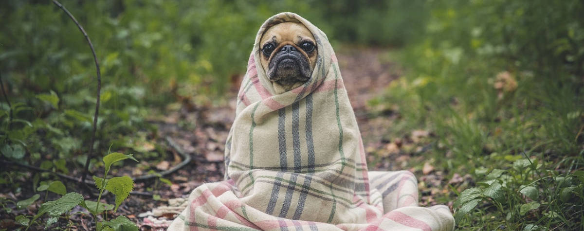 Pugs are one of the best small breeds for renters